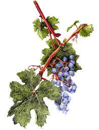grape artwork