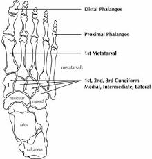 human foot bone structure
