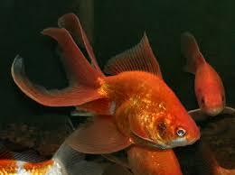 fancy fantail goldfish