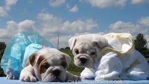 bulldog outfits