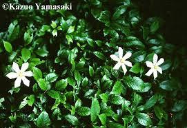 external image Gardenia.jpg