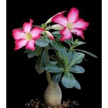 desert rose plants