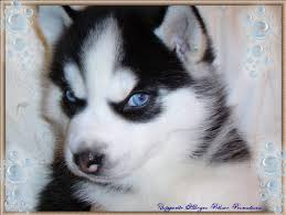husky puppy pictures