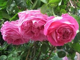 bridal pink roses