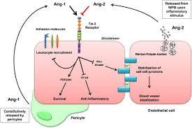 angiopoietin 1