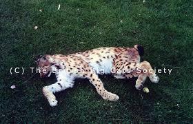 british big cats