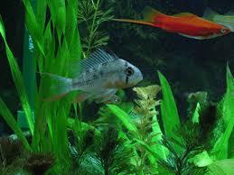 bolivian ram fish