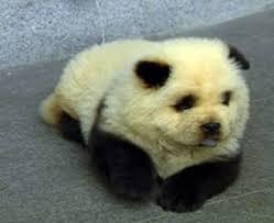 panda bear dog