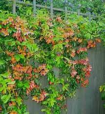 bignonia capreolata tangerine beauty