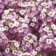 lavender shade