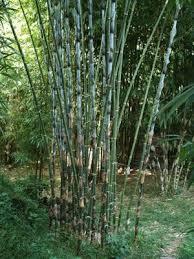 bambusa tulda