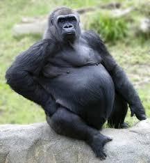 gorilla monkeys