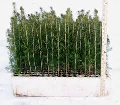norway spruce seedlings