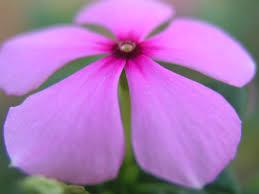 purple pink flower