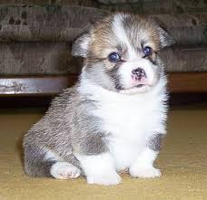corgi welsh puppy