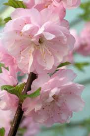 flowering almond bush