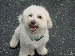 pictures of white dogs