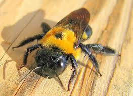 big bees