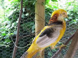 ornamental pheasants