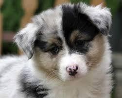 australia shepherd puppies