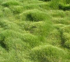 ground cover grass