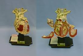 anatomical position of the heart