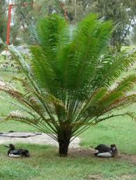 queen sago palm