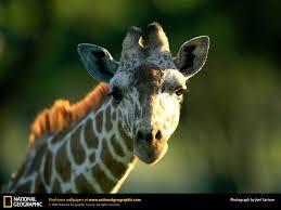 giraffe national geographic