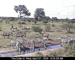 pictures of zebras in africa