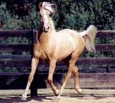 pictures of palomino horses