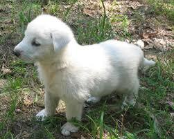 german shepherd puppies white