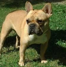bulldogs french