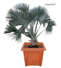 bismarck palms