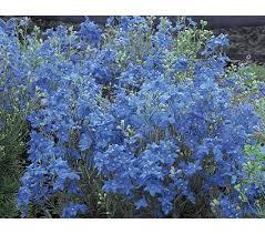 blue perennial