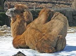 pic of camel