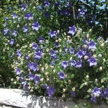 little grapette daylily