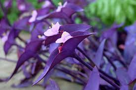 purple tradescantia