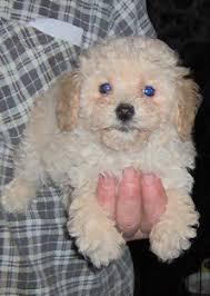 maltepoo puppy