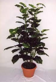 money plant picture