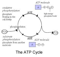 ciclo atp