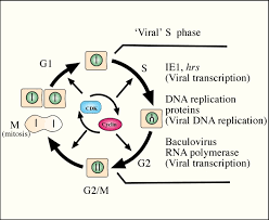 cell cycle apoptosis