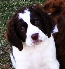 miniature springer spaniel