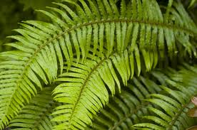 northwest ferns