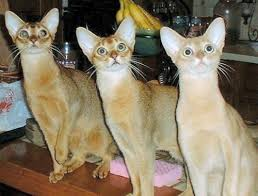 abyssinian pictures