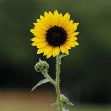 flower sun