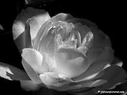 black and white rose pictures
