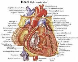 anatomical heart models