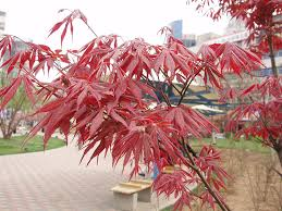 dwarf japanese red maple