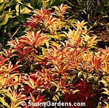 japanese shrub
