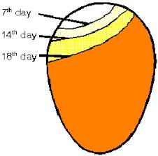 egg incubating